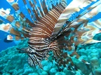 114 - A Lionfish closeup