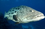 118 - A huge Potato Cod