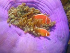 122 - Some more Clownfish pics